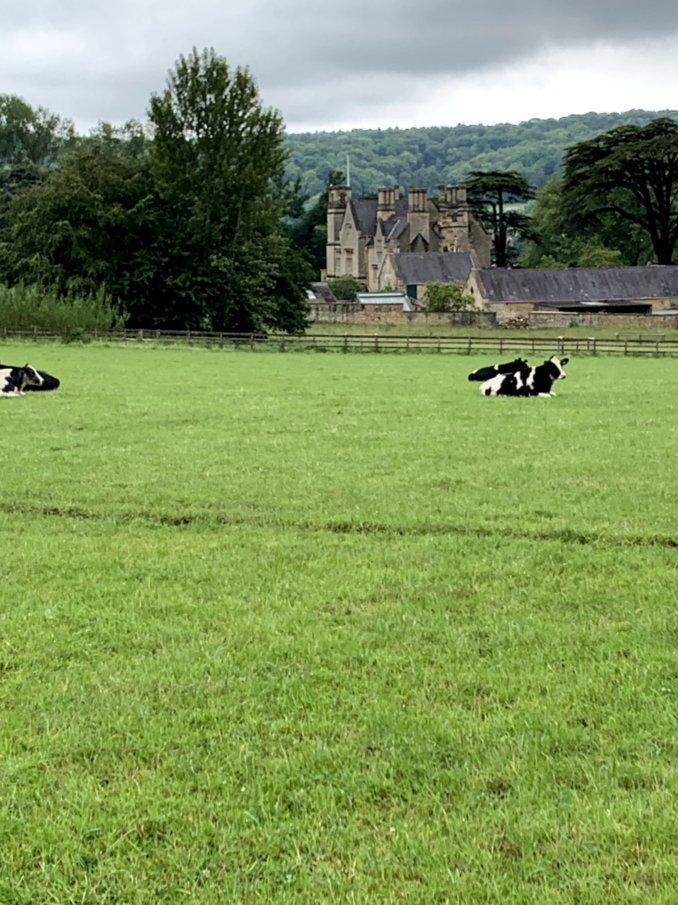 6- cows2