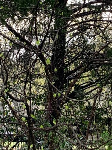fig bush